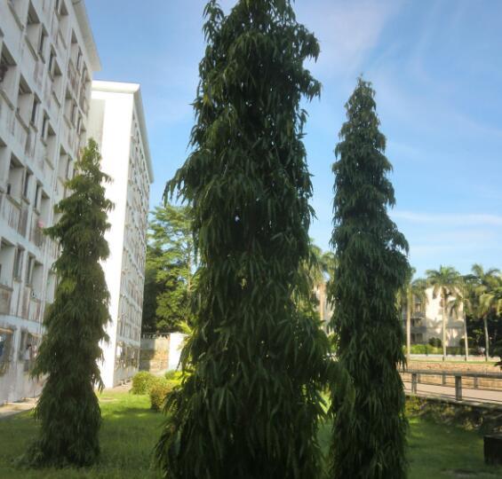 """泰国各大校园中的这些""""校树"""",你都知道吗?"""