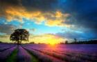 香草之王 | 英国最受欢迎的薰衣草田