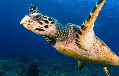 巴厘岛海龟保育义工项目