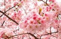 冬季,泰国的樱花盛开啦!粉红花海,吸引大量游客!