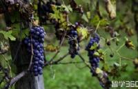 新西兰留学   东部理工学院学士后文凭-葡萄栽培