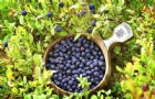 芬兰生活:采不完的免费浆果和蘑菇,吃货之心按耐不住了!