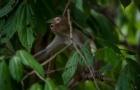 新进展:研究人员在恒河猴身上实验新冠疫苗,证实有效